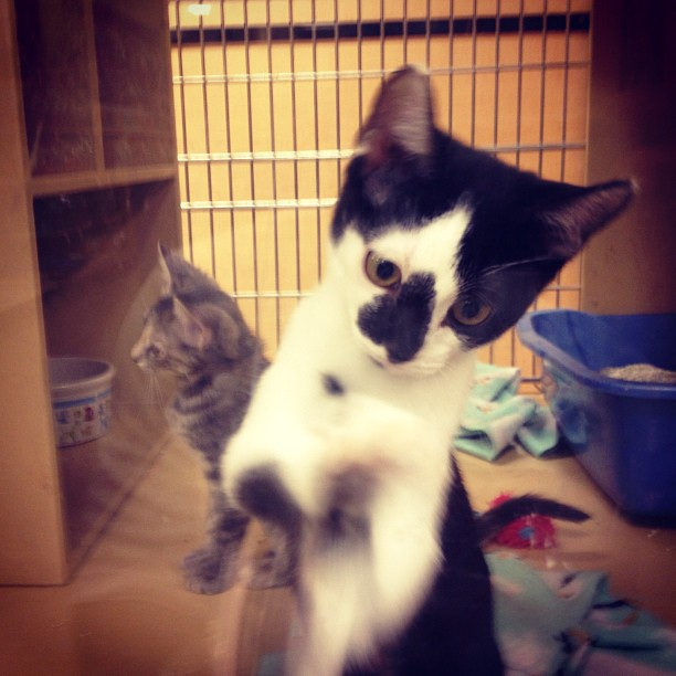 PetSmart #kittens on attack in #Phoenix. Too damn #cute.