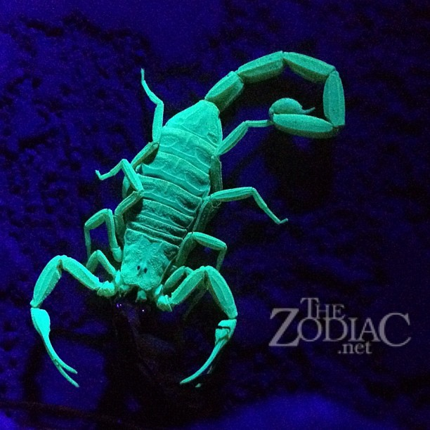 #scorpion under black light at a friend's house